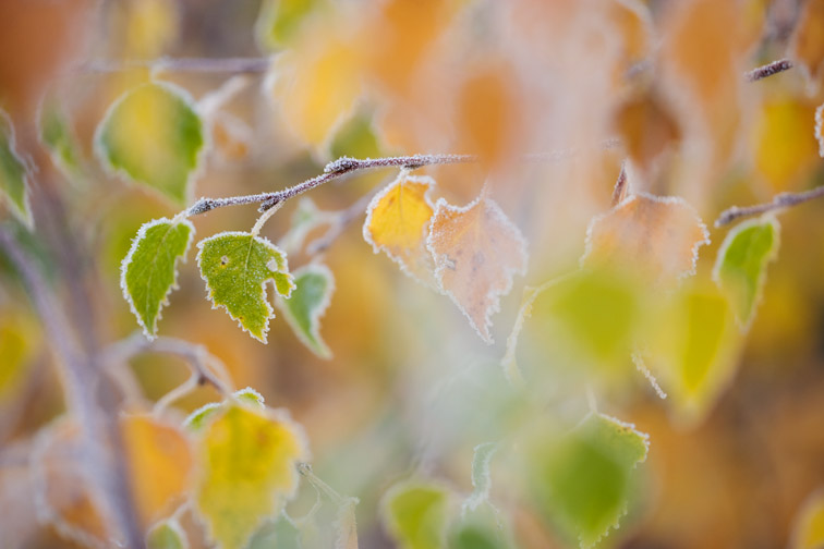 Silver birch leaves in autumn frost. November.