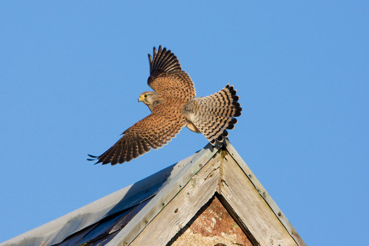 Kestrel (Falco tinnunculus) immature male taking off from roof of old barn. Scotland. December.