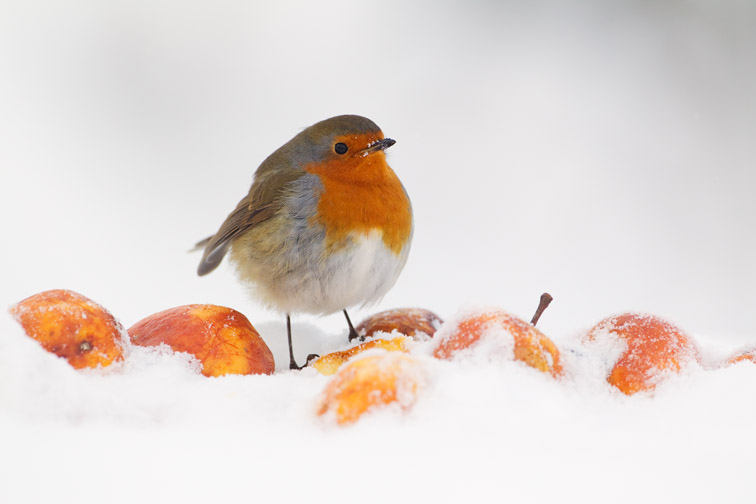 Robin Erithacus rubecula, perched on apple in snow, Inverness-shire, November