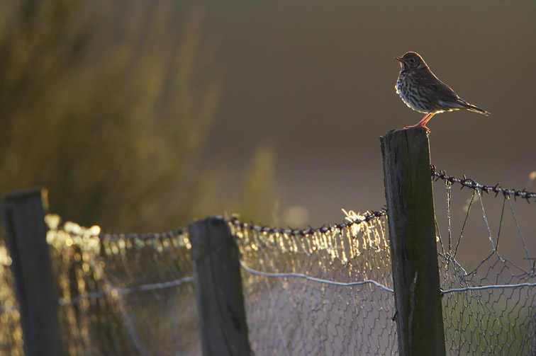Song Thrush (Turdus philomelos) perched on fence post in late evening light. Carr-bridge (Badenoch & Strathspey), Scotland. April 2005.
