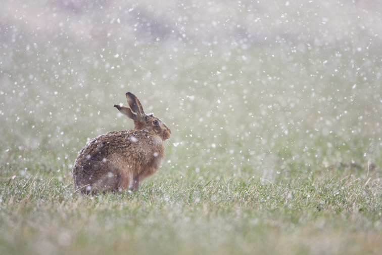 Brown hare (Lepus capensis) adult sat in field in falling snow. Scotland. April 2006.