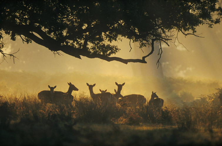 Fallow Deer - Cervus dama - small group of does under oak tree in early morning light. England. October.