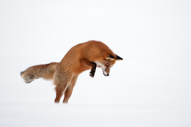 Red fox (Vulpes vulpes) adult hunting for mice in deep snow. Norway. March 2008