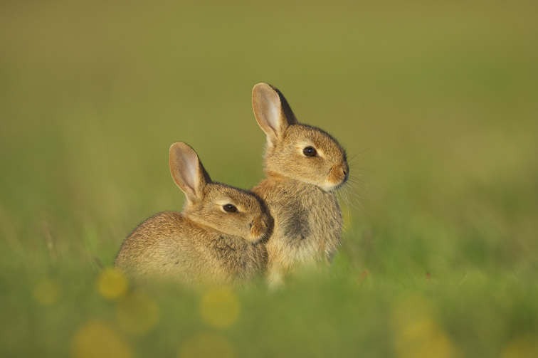 Rabbit (Oryctolagus cuniculus) - youngsters sat outside burrow entrance in late evening sun. Scotland. July.