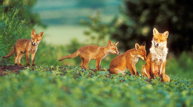 Red Fox (Vulpes vulpes) vixen and four cubs in field in early morning light. UK. June.
