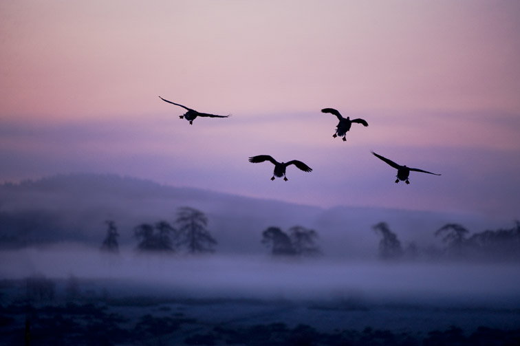 Greylag Goose Anser anser adult flock silhouetted in flight at dawn. Scotland. March