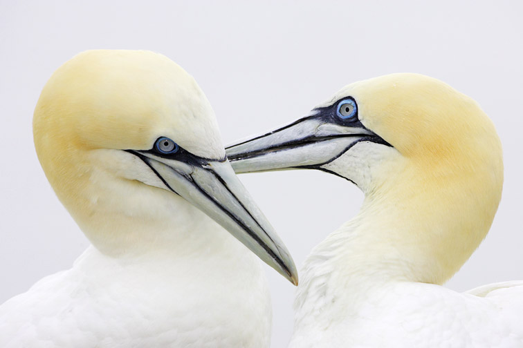 Gannet (Sula bassana), pair mutual preening. Bass Rock (East Lothian), Scotland, July 2004.
