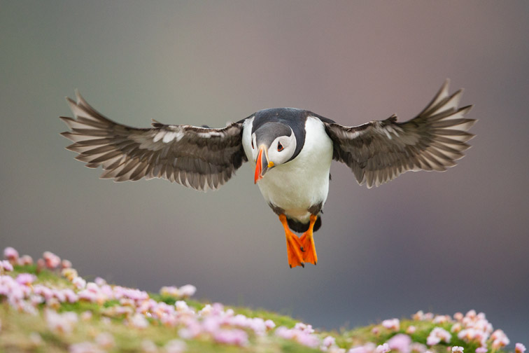 Atlantic puffin (Fratercula arctica) poised to land amongst thrift on the island of Fair Isle, Shetland, UK, July 2013