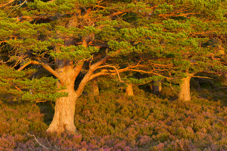 Scot's pine (Pinus sylvestris) in late evening light, Rothiemurchus Forest, Cairngorms National Park, Scotland, UK