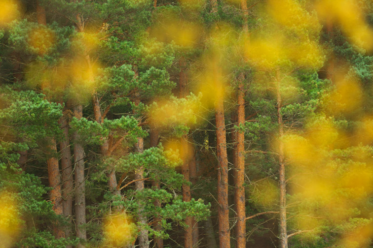 Pine woodland and birch leaves in autumn, Cairngorms National Park, Scotland, UK