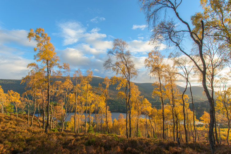 Birch woodland (Betula pendula), Cairngorms National Park, Scotland, UK
