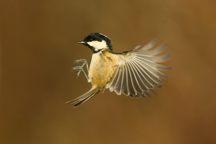 Coal tit (Parus ater) in flight, Scotland, January