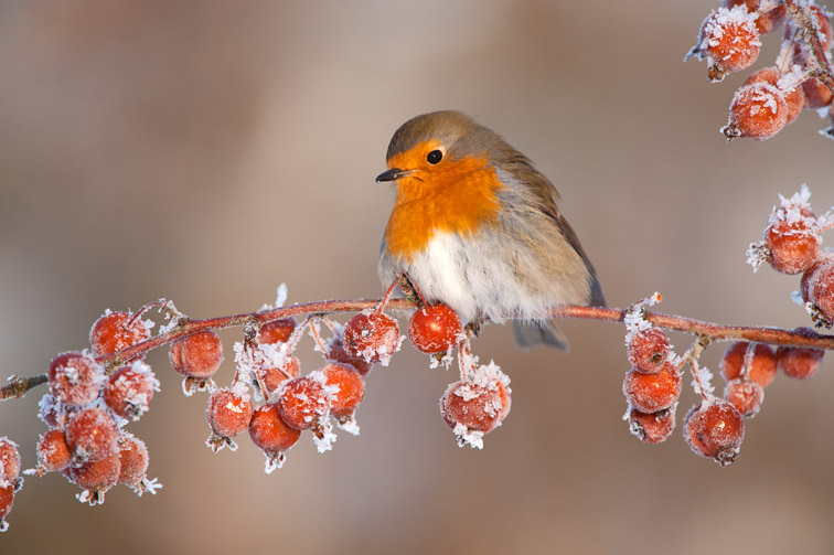 Robin (Erithacus rubecula) adult perched on crab apples in winter, Scotland, UK