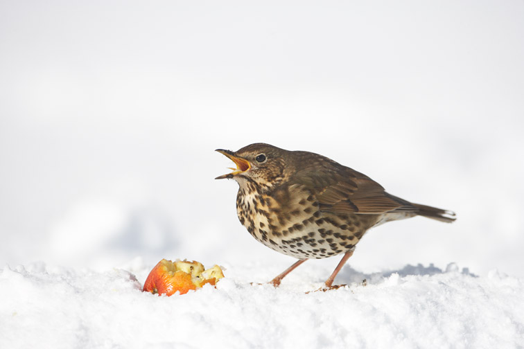 Song Thrush Turdus philomelos adult feeding on apple in snow. Scotland. March.