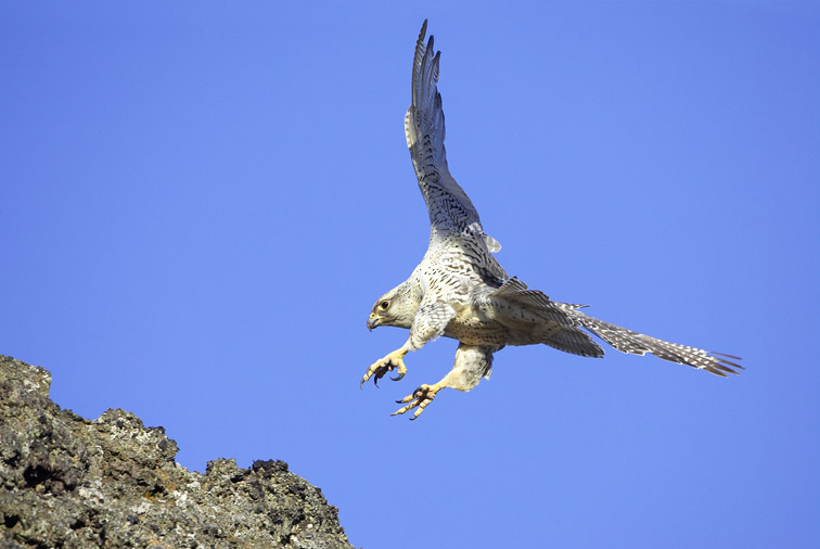 Gyr Falcon - Falco rusticolus - adult female (light phase) in flight, alighting on rock. Iceland. May 2006.