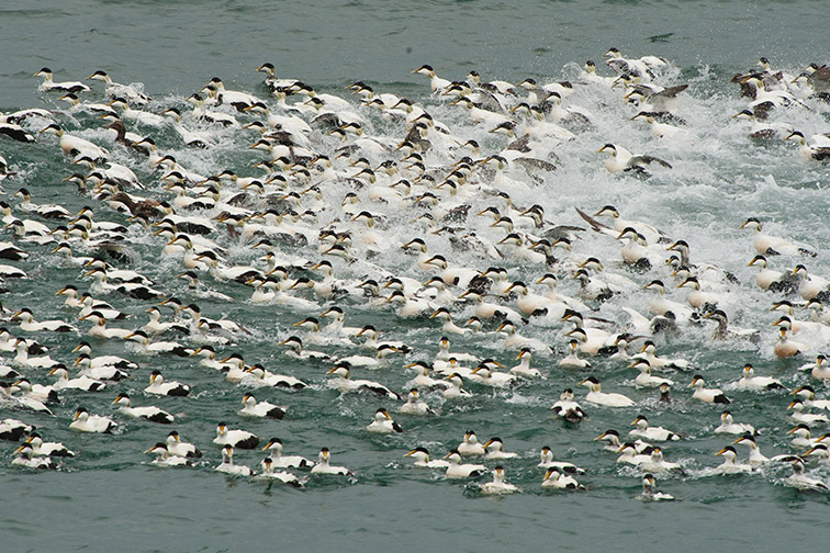 Group of male eiders (Somateria mollissima) fleeing from attack by grey seal, near Hofn, South-east Iceland, June