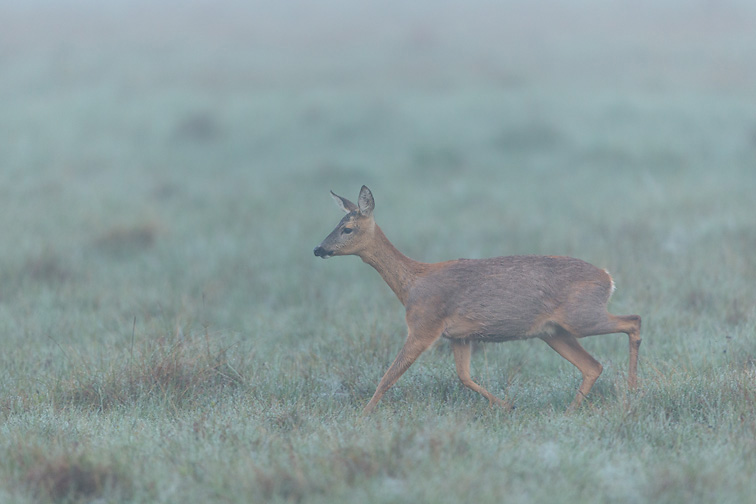 Roe Deer (Capreolus capreolus) doe walking across field in mist at dawn