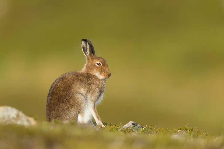 Mountain Hare (lepus timidus) sitting on heather moorland in early morning sunlight