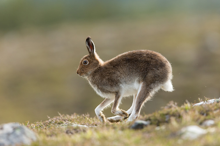 Mountain Hare (Lepus timidus) adult running across heather moorland in summer