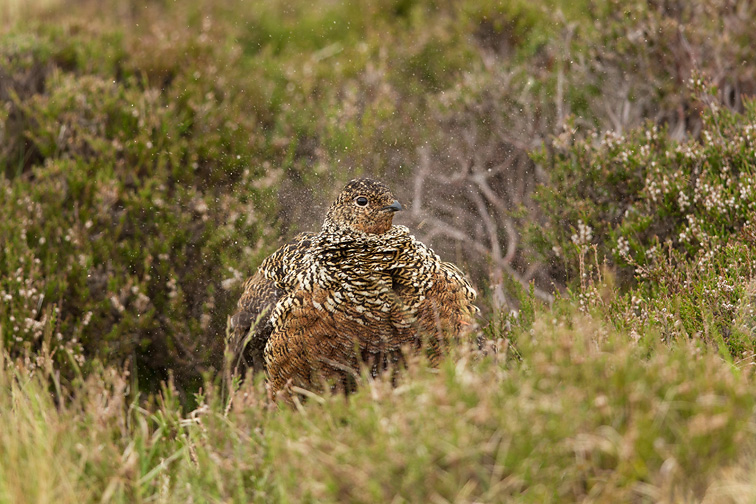 Red Grouse (Lagopus lagopus scoticus) female shaking feathers, showing dust