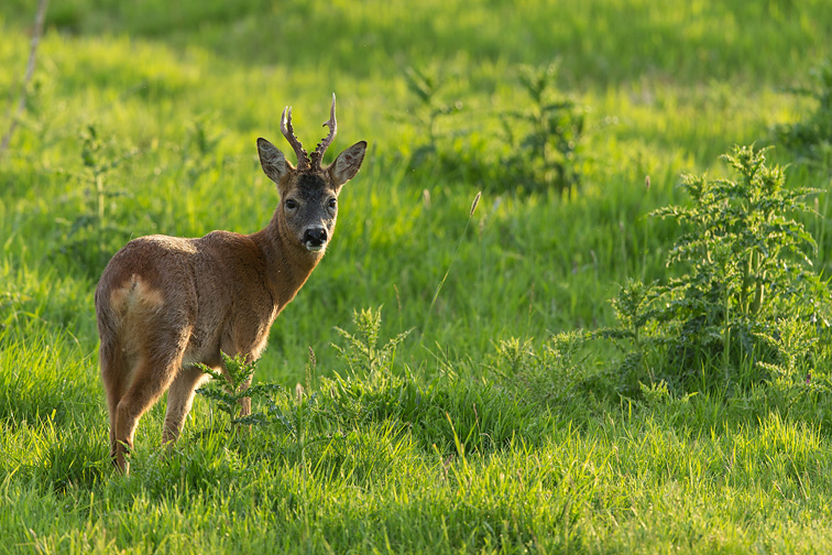 Roe Deer (Capreolus capreolus) buck in field of thistles in evening light