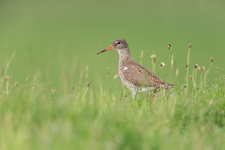 Redshank (Tringa totanus) adult in damp meadow breeding habitat
