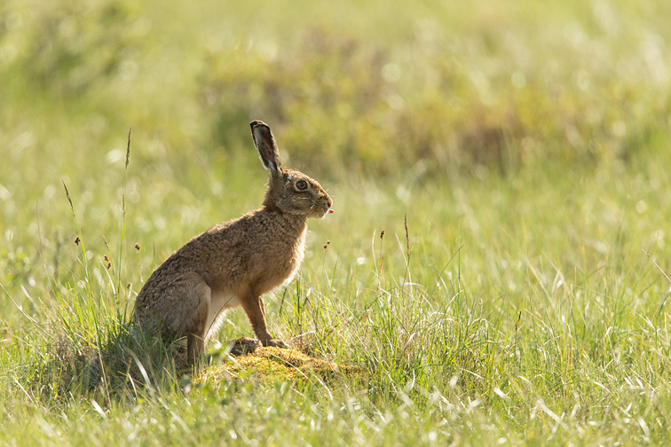Brown Hare (Lepus capensis) sat upright in alert pose in rough grassland