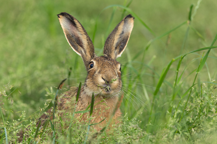 Brown Hare (Lepus capensis) close-up feeding on grass shoots