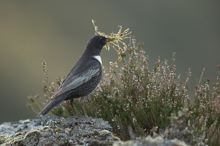 Ring Ouzel (Turdus torquatus) perched with nesting material, Scotland