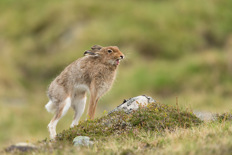 Mountain Hare (Lepus timidus) stretching, Scotland