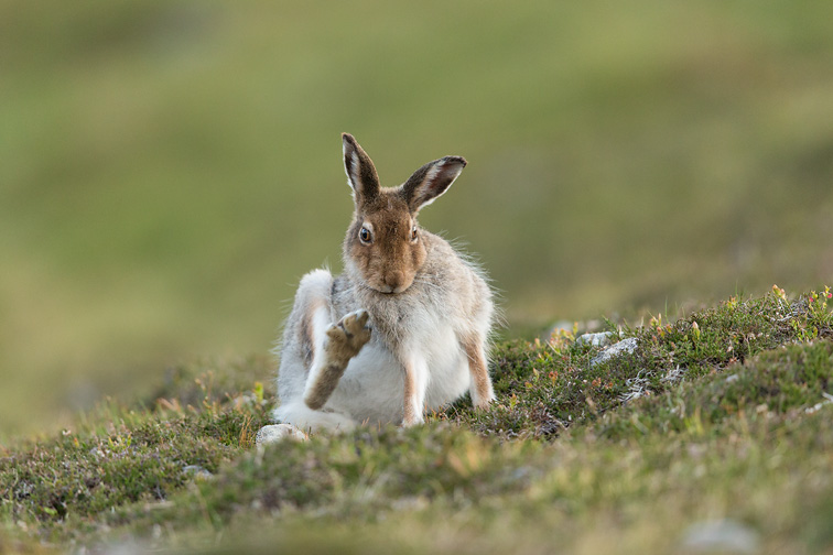 Mountain Hare (Lepus timidus) scratching, Scotland