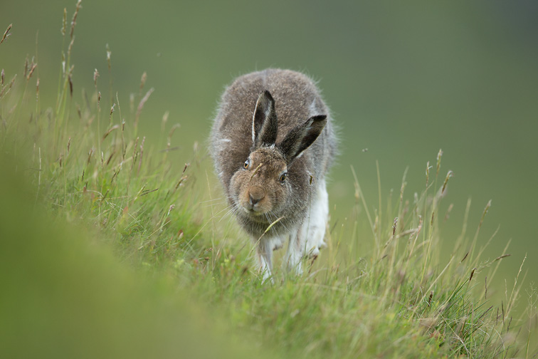 Mountain Hare (Lepus timidus) in summer coat, running, Scotland