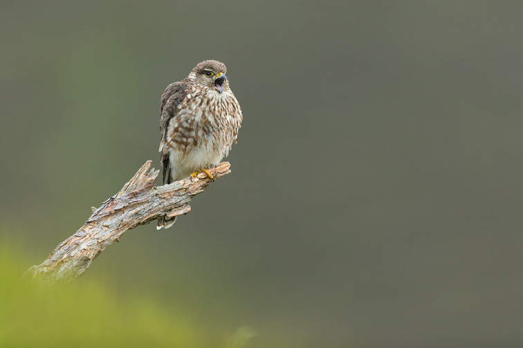 Merlin (Falco columbarius) adult female perched, calling to male