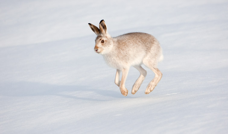 Mountain hare (Lepus timidus) running across snow, Cairngorms National Park, Scotland,  January 2010