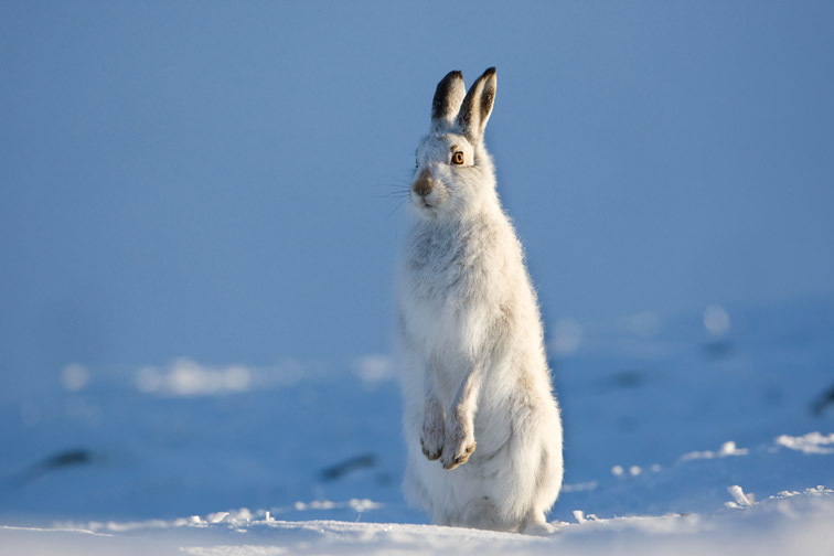 Mountain hare Lepus timidus in winter pelage (coat). Grampian mountains, Scotland. January.
