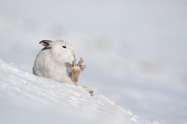Mountain hare (Lepus timidus) in winter coat in snow, Scotland