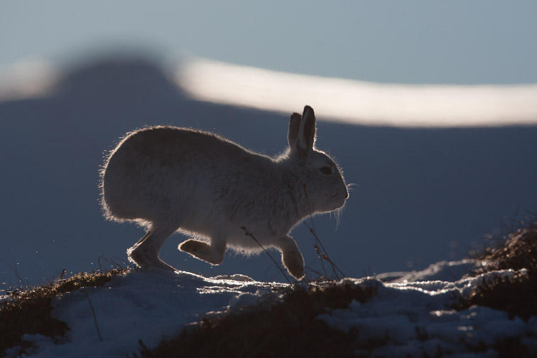 Mountain hare (Lepus timidus) backlit on snow, Scotland