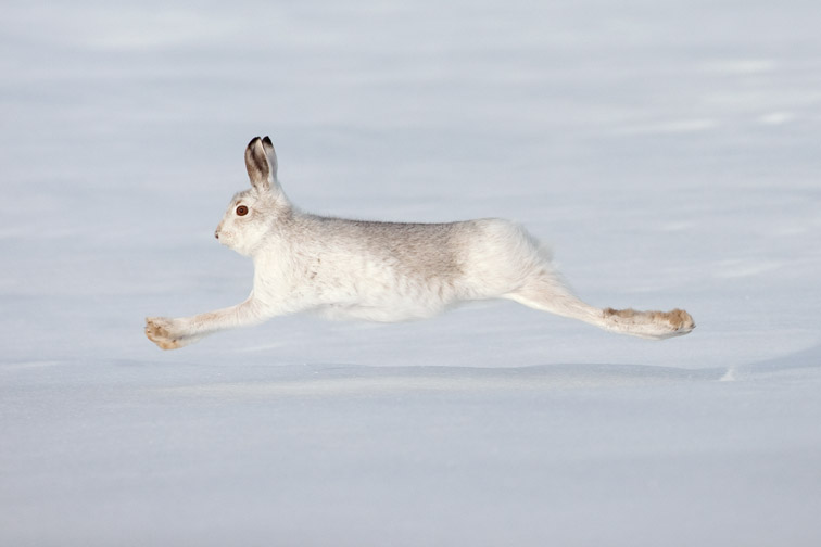 Mountain hare (Lepus timidus) in winter coat running across snow, Scotland