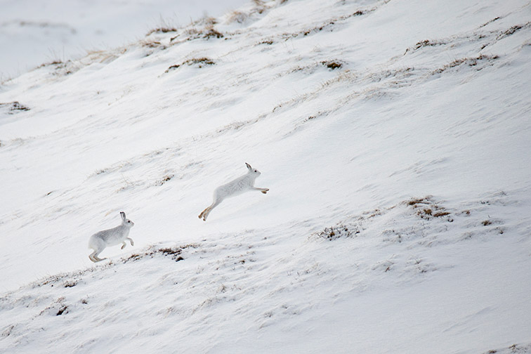 Mountain Hare (Lepus timidus) two animals chasing across snow covered moorland