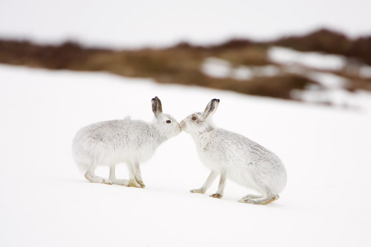 Mountain Hare (Lepus timidus) two animals in white winter pelage (coat) touching noses in form of greeting. Scotland.