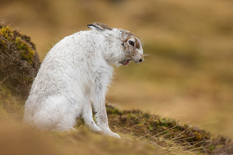 Mountain Hare (Lepus timidus) adult in white winter coat