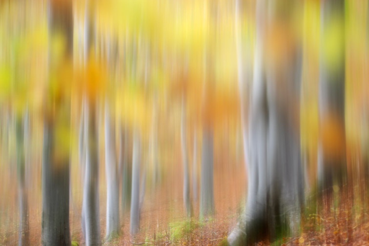 Impression of common beech woodland (Fagus sylvatica) in autumn.