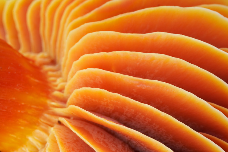 Close-up of gills of Meadow Waxcap - Hygrocybe pratensis - Scotland. October 2006.