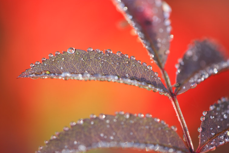 Close-up of dew covered Rowan leaves (Sorbus aucuparia). Scotland. October 2006.