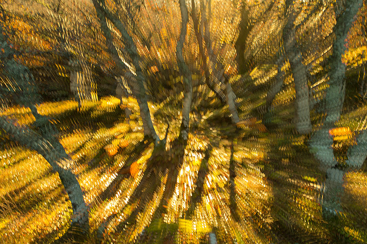 Impression of birch trees in morning light