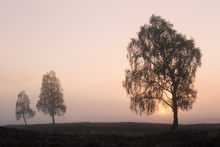 Silver birch (Betula pendula) trees on moorland at sunrise