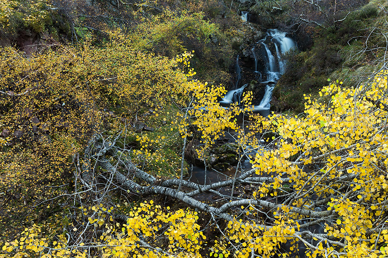 Aspen (Populus tremula) in autumn leaf alongside stream, Scotland