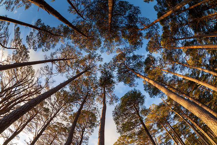 Wide angle view of canopy of Scot's pines (Pinus sylvestris) in Abernethy Forest, Cairngorms National Park, Scotland