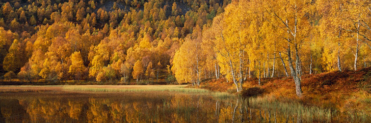 Birch Woodland (Betula pendula) in autumn. Strathspey, Central Highlands, Scotland. October.