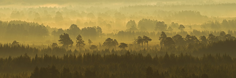 Pine forest on misty autumn morning, Rothiemurchus Forest, Cairngorms National Park, Scotland